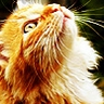 Avatar image animal chat Main Coon